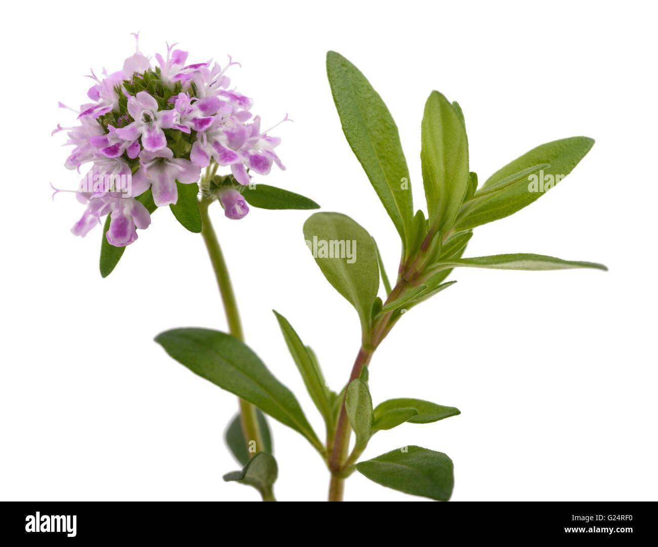 Bohnenkraut Blumen isoliert auf weißem Hintergrund Stockbild
