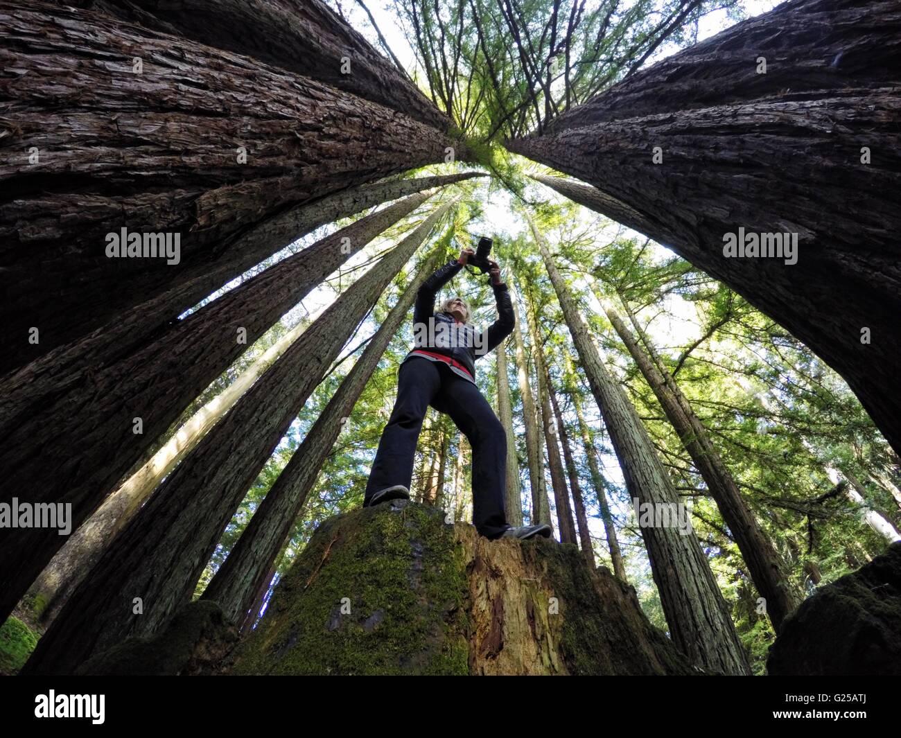 Frau fotografieren Redwood Bäume, California, Amerika, USA Stockfoto