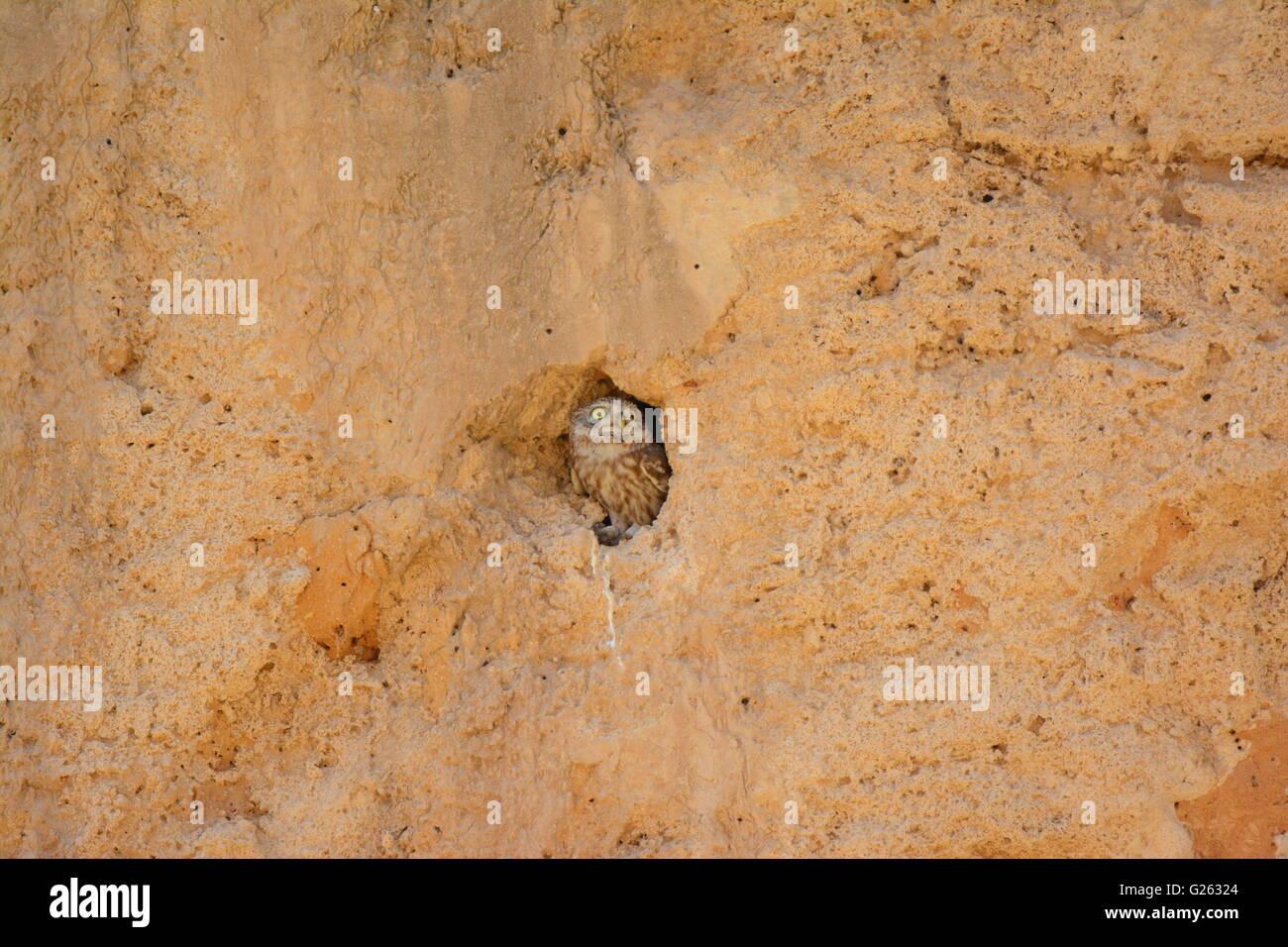 Steinkauz, Athene Noctua Kommissionierung aus Burrow Stockfoto