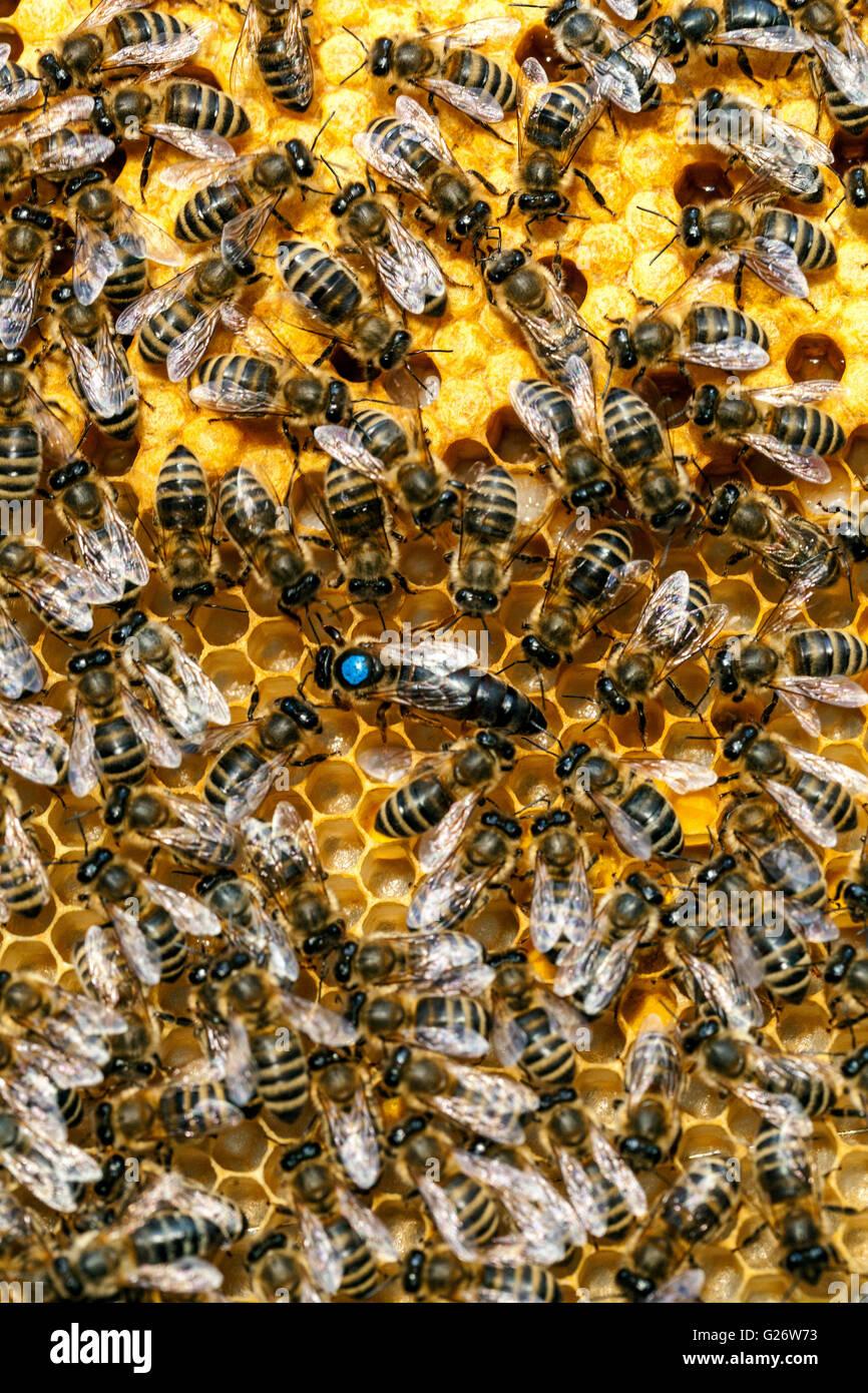 Bienenkönigin, markiert und umgeben von Arbeitsbienen Stockbild