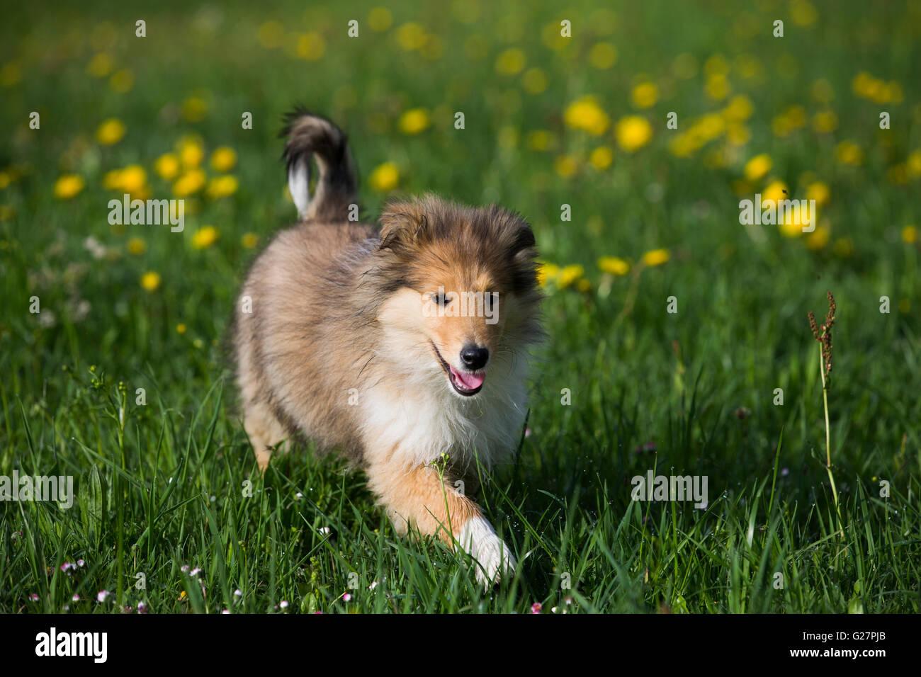 Schottischer Schaferhund Welpen Collie Zobel Weiss Lowenzahn Wiese Salzburg Osterreich Stockfotografie Alamy