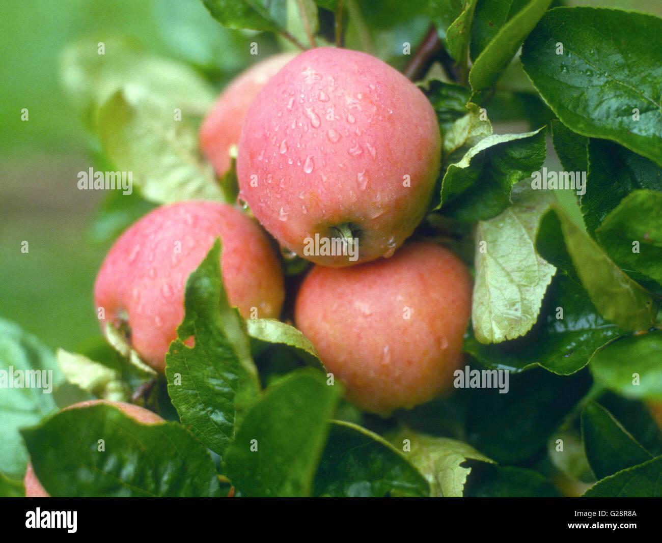 Apfel auf Niederlassung in Regen Stockbild