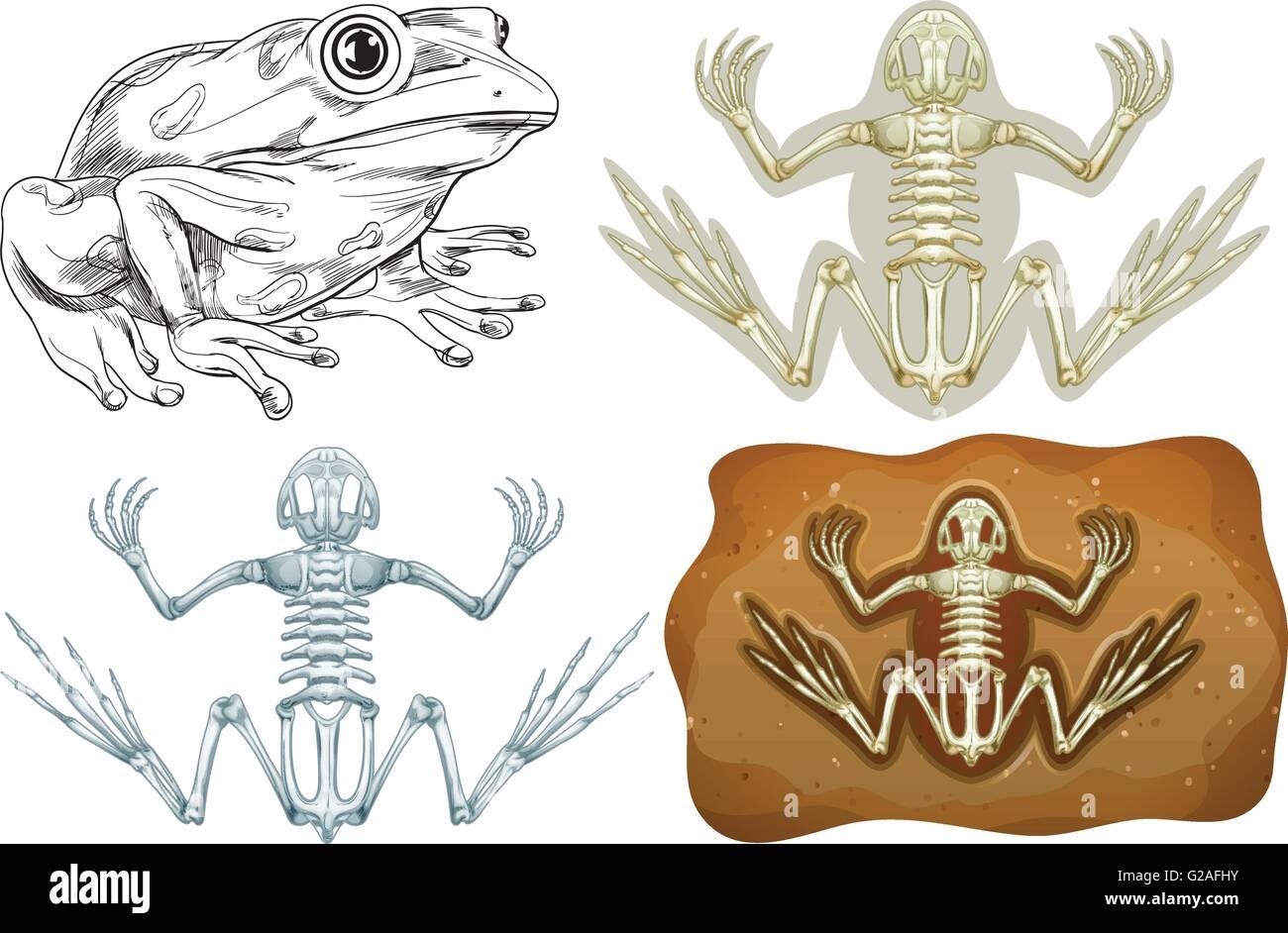 Nett Frosch Anatomie Funktionen Zeitgenössisch - Anatomie Von ...
