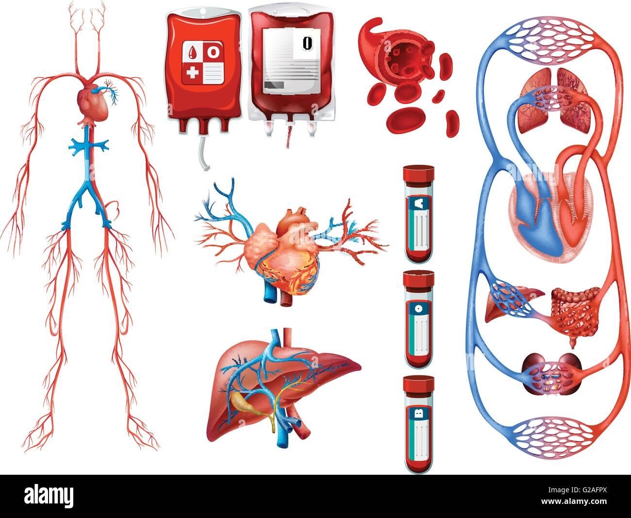 Cardiovascular System Stockfotos & Cardiovascular System Bilder - Alamy