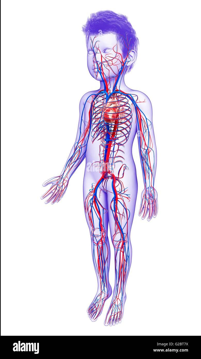 Berühmt Herz Kreislauf System Funktion Und Struktur Galerie ...