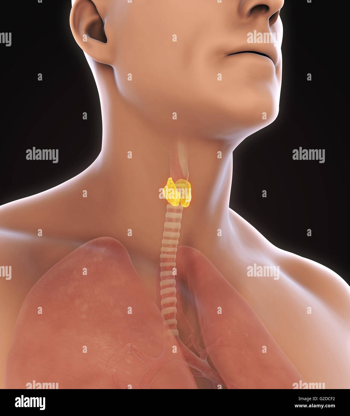 Human Thyroid Stockfotos & Human Thyroid Bilder - Alamy
