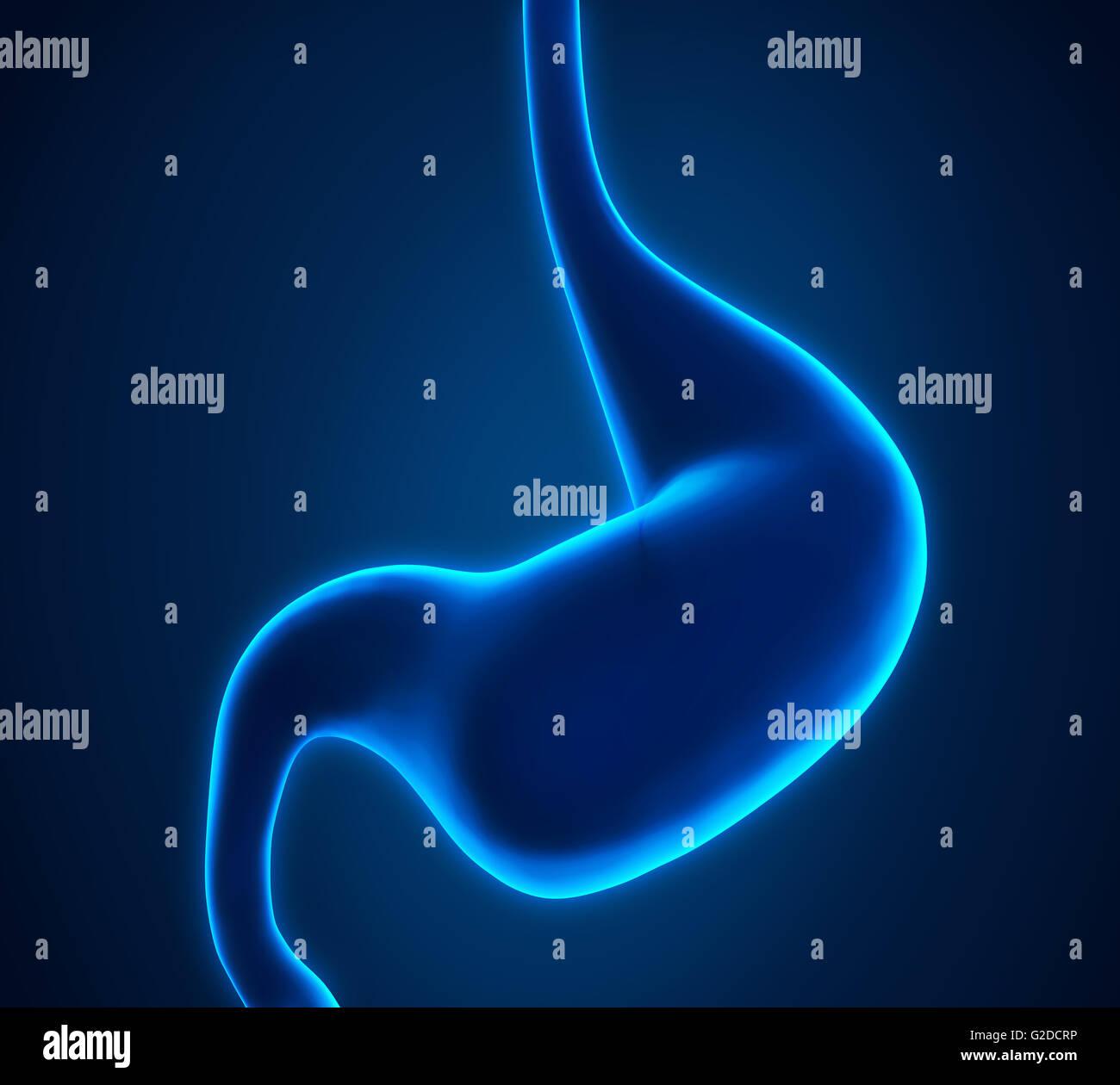 Anatomie der menschlichen Magen Stockfoto, Bild: 104786970 - Alamy