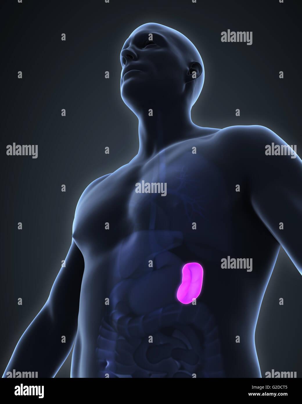 Anatomie der menschlichen Milz Stockfoto, Bild: 104786981 - Alamy