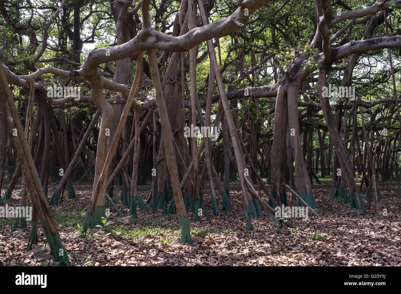 Ficus feige, indische Banyan, Moraceae, indischer Subkontinent, Asien Stockbild