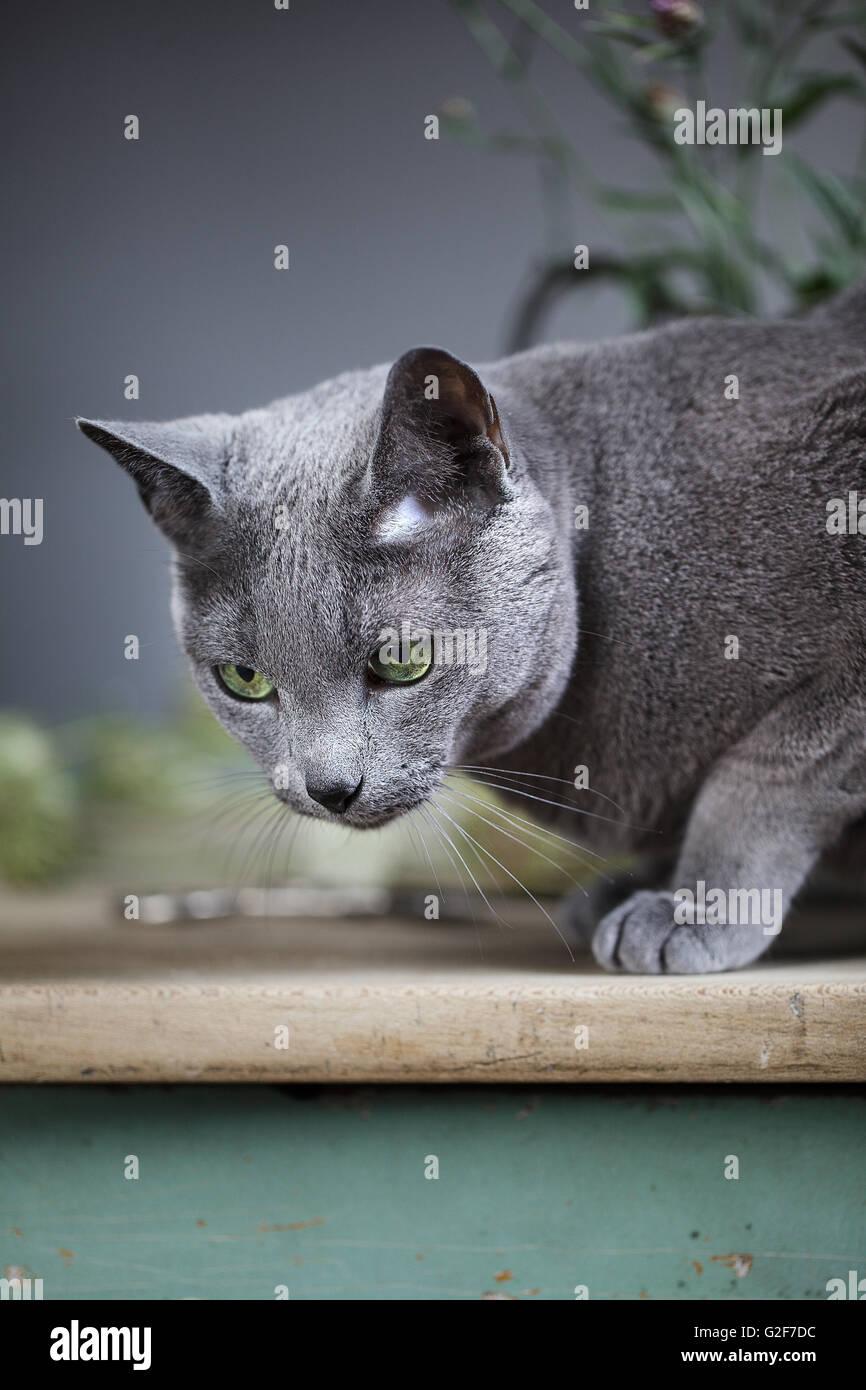 Klassische Tier Portrait Studio-Stillleben mit Blumen und Russisch Blau Katze Stockbild