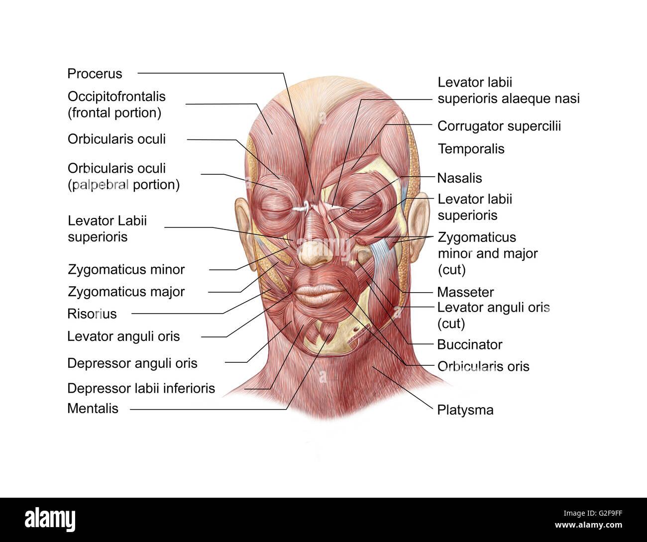 Tolle Muskeln Des Gesichts Anatomie Zeitgenössisch - Menschliche ...