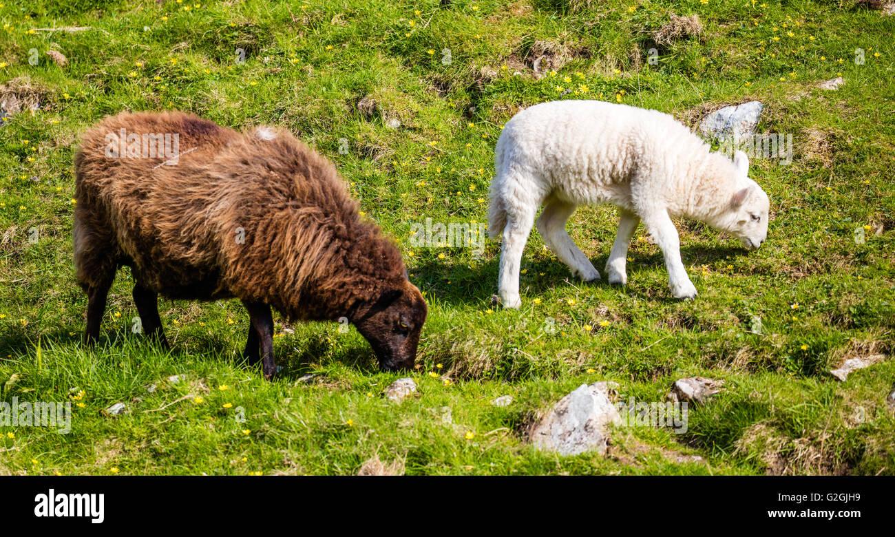 Jacob Schaf Ewe mit weißen konfrontiert Schafe Lamm auf einem Hügel in Wales UK Stockfoto