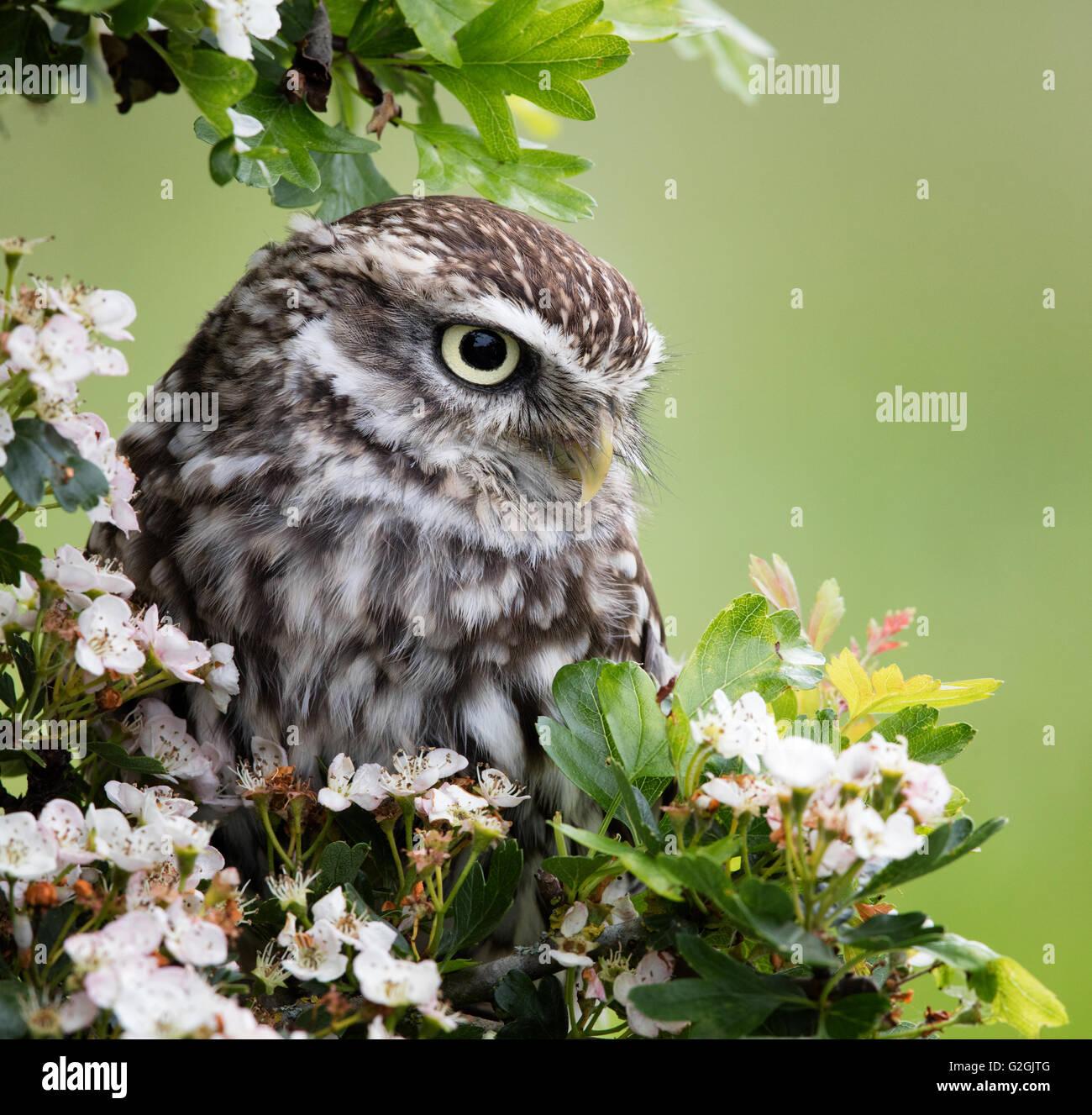Steinkauz Athene Noctua posierte unter Weissdorn Blüte ausgebildet Vogel Gloucestershire UK Stockbild