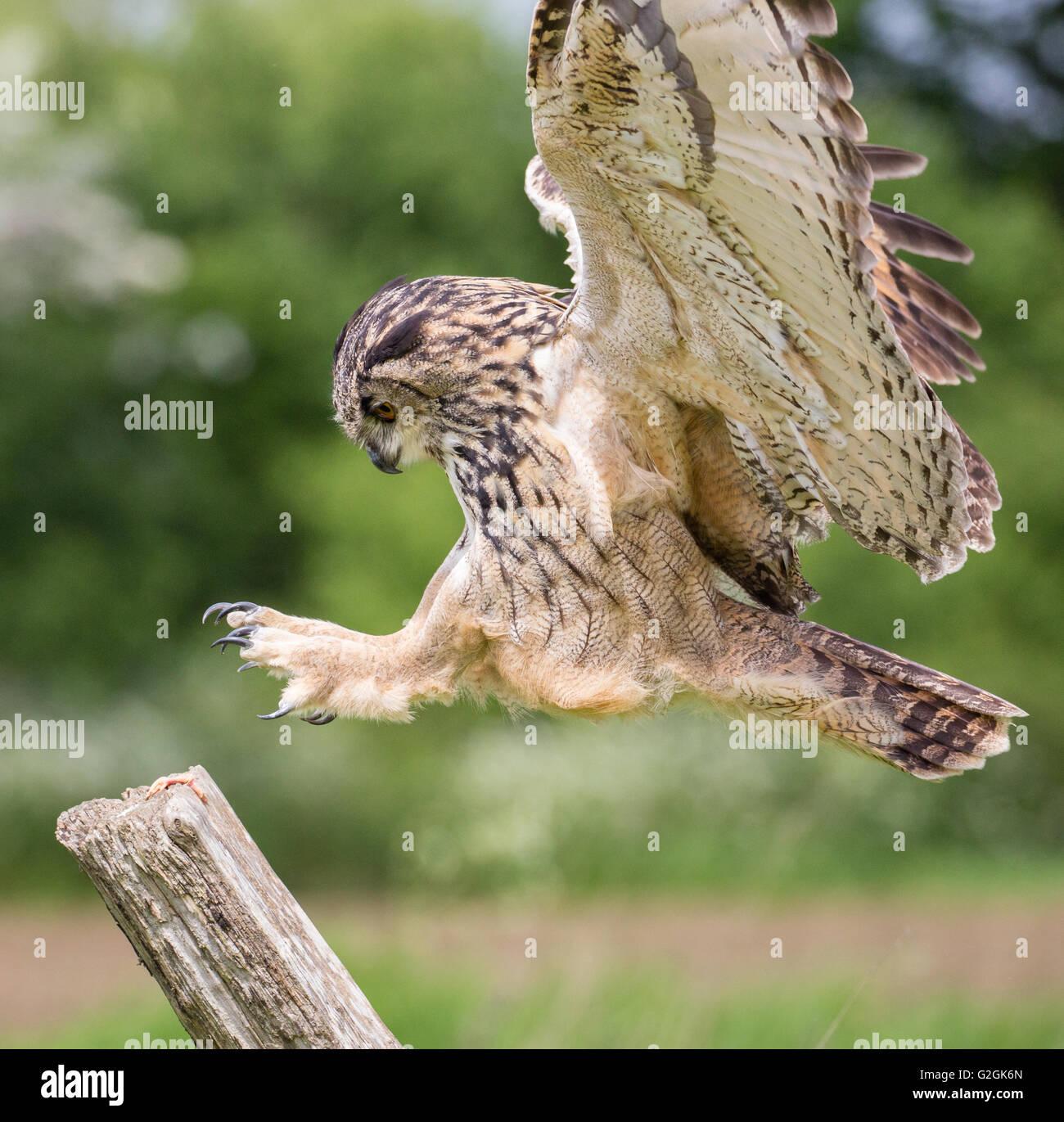 Uhu Bubo Bubo im Flug über ein Feld Gloucestershire - ausgebildeten Vogel Stockbild