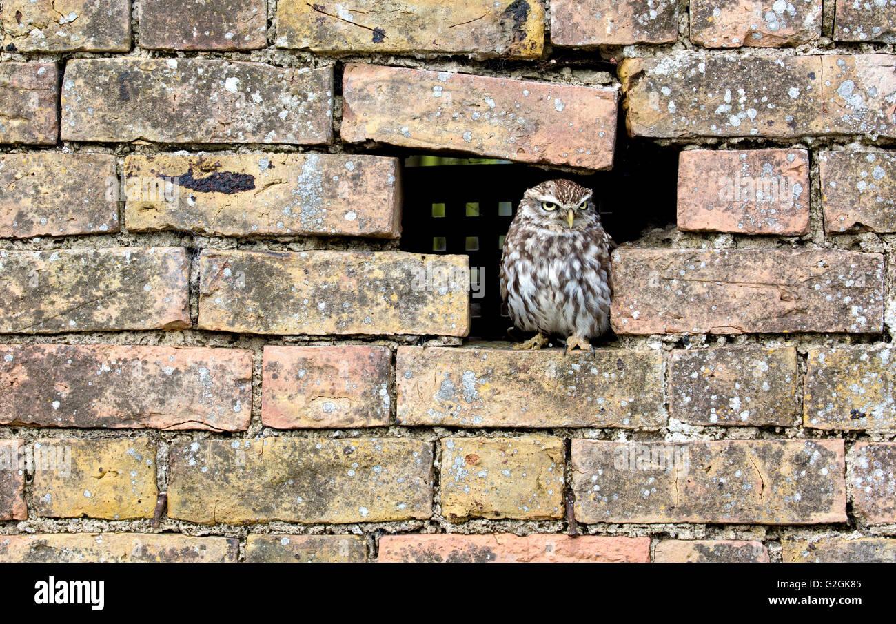 Steinkauz Athene Noctua suchen aus einem Loch in einer Mauer - Gloucestershire UK Stockbild