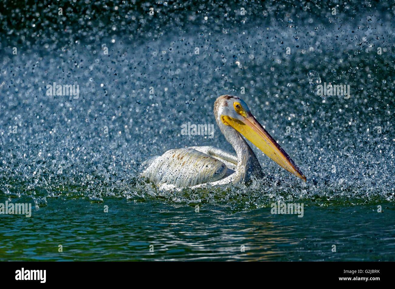 Amerikanischer weißer Pelikan (Pelecanus Erythrorhynchos) im künstlichen Teich durch den Brunnen, Winnipeg, Stockbild