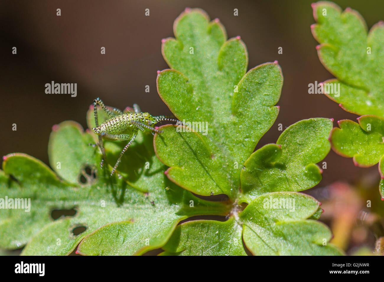 Leptophyes Punctatissima Bébé Sauterelle Sur Feuille de Chene, Stockbild