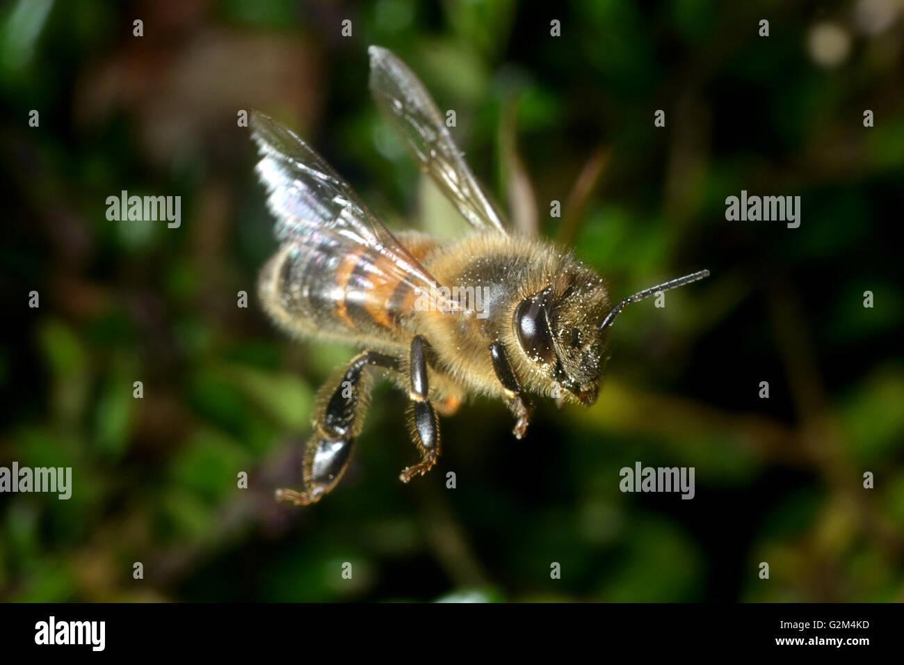 wilde Bienen im Flug Stockbild