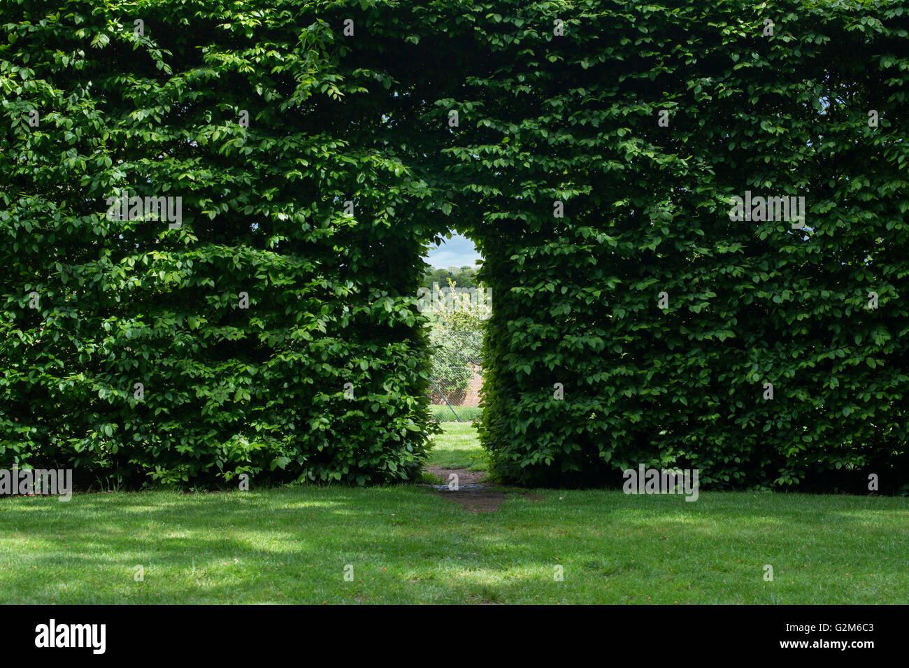 Gang durch eine Hecke Buche in Broughton Grange Gardens