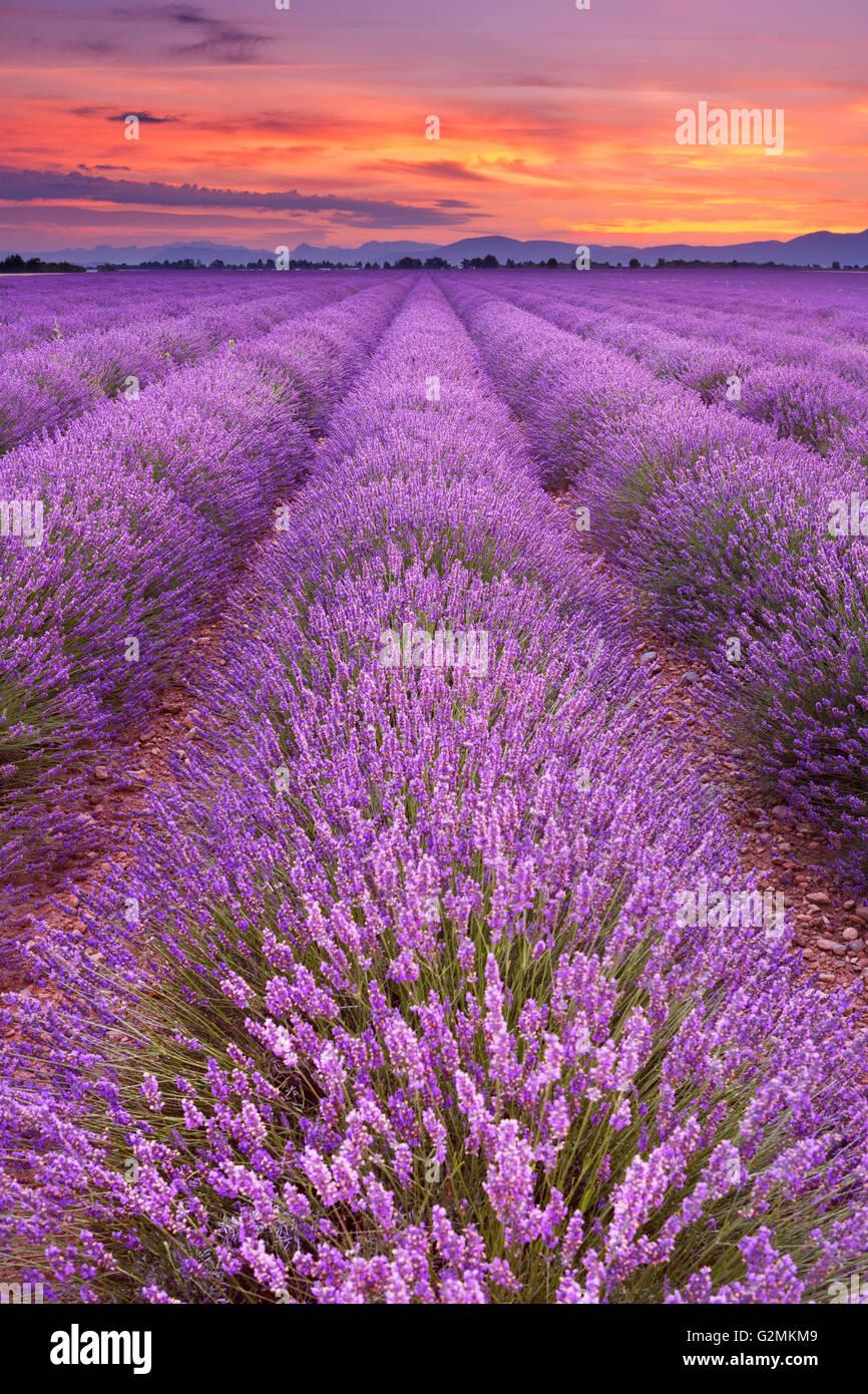 Sonnenaufgang über blühende Felder von Lavendel auf dem Plateau von Valensole in der Provence in Südfrankreich. Stockbild