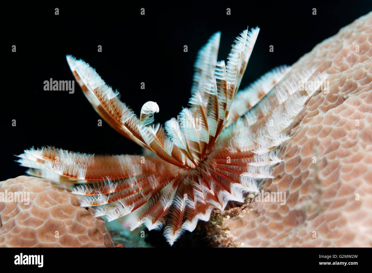 Feder Wurm (Sabellastarte SP.) auf Steinkorallen, Tentakel Krone, Great Barrier Reef, Queensland, Cairns, Pazifik, Stockbild
