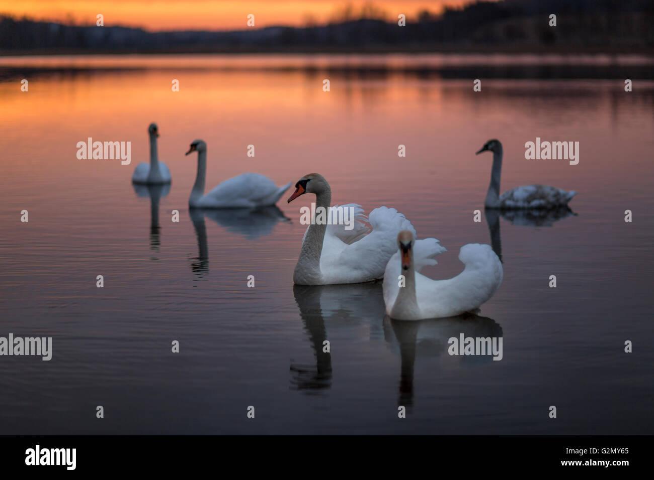Gruppe der Schwäne auf dem See mit einem wunderbaren Sonnenuntergang. Stockbild