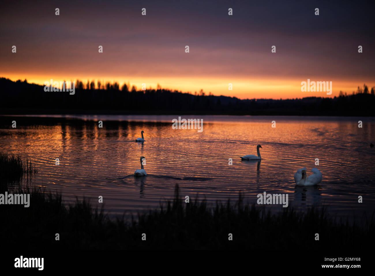 Gruppe von wundervollen Schwäne auf dem See mit den unglaublichen Sonnenuntergang. Stockbild