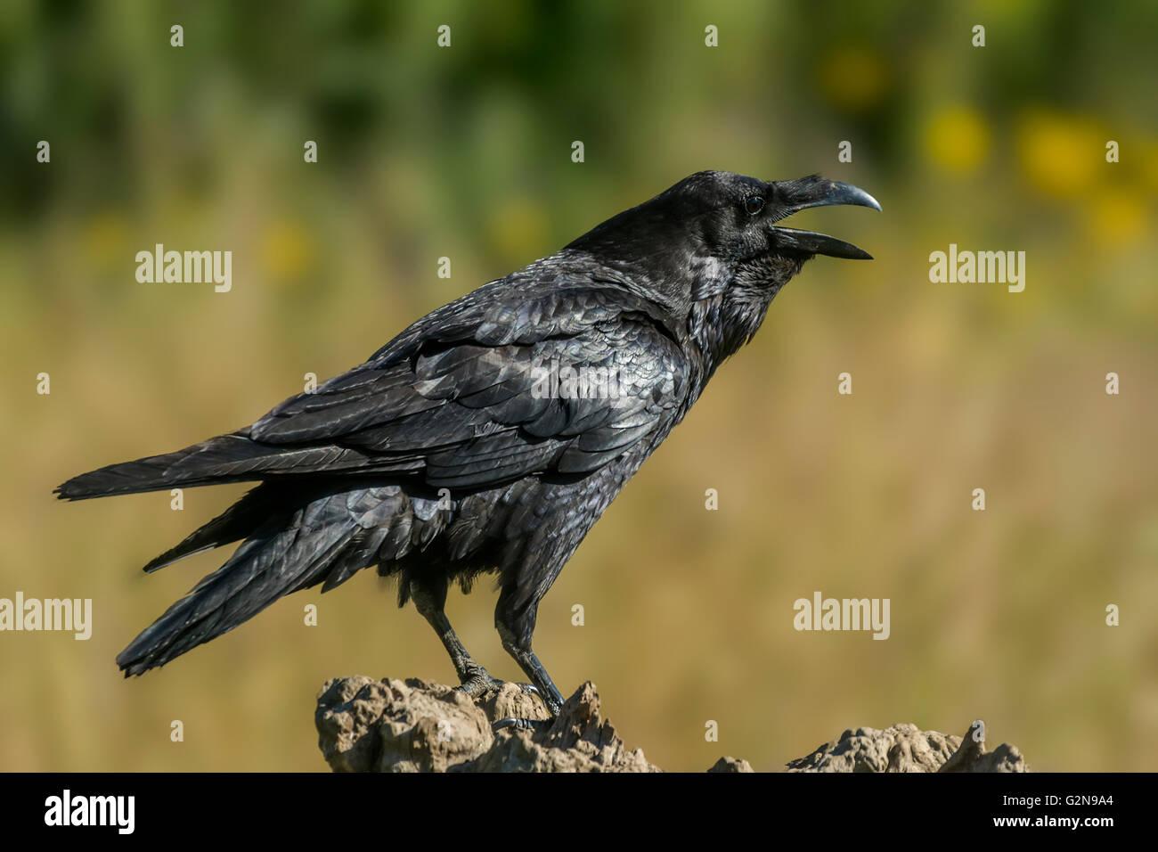 Corvus Corax Stockbild