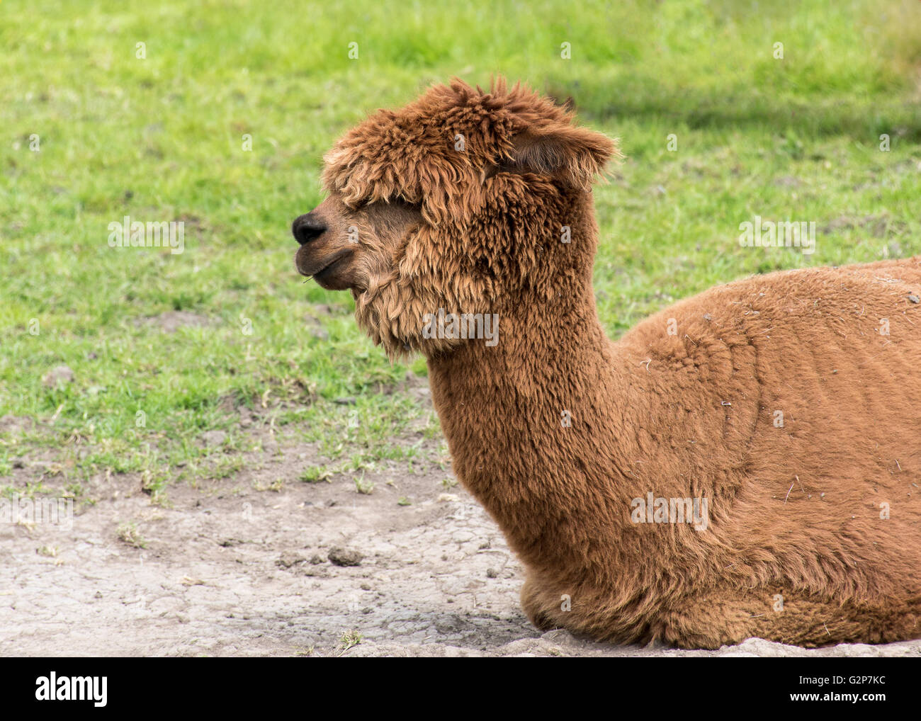 Brown alpaka auf dem boden sitzend stockfoto bild for Boden englisch