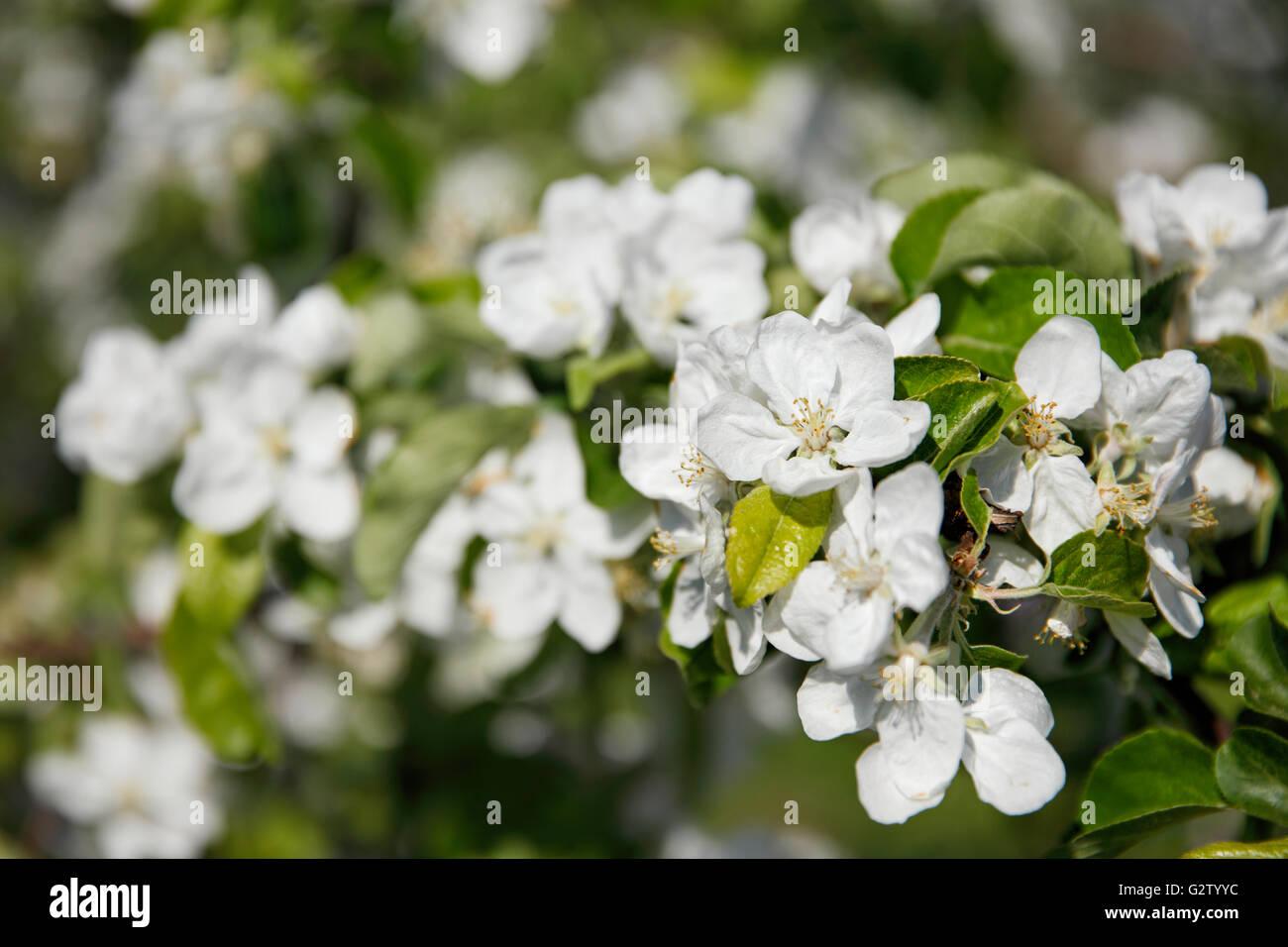 Zweig der Apfelbaum in voller Blüte. Kolomenskoye Museums-Reserve, Moskau, Russland. Stockbild