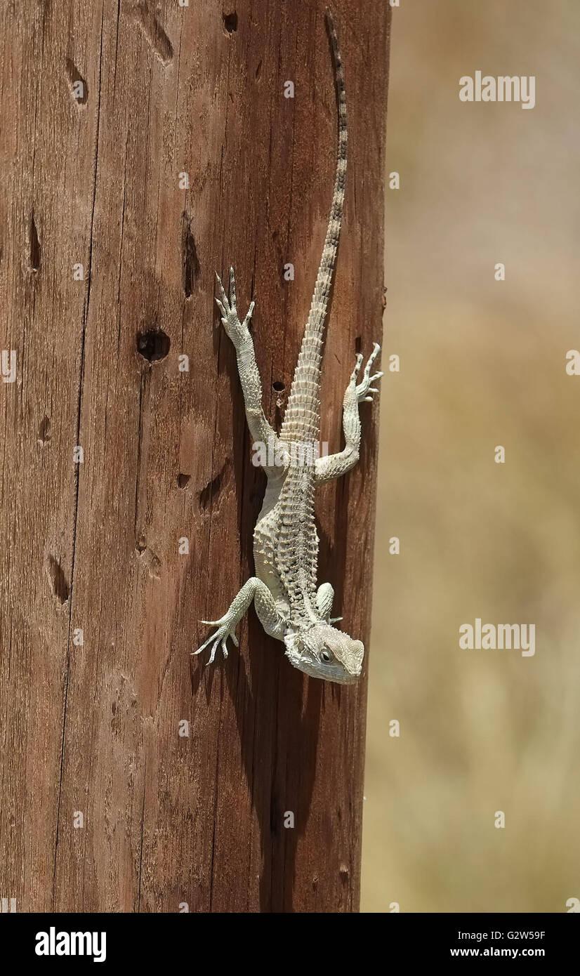 Gecko Eidechse (Teilordnung Gekkota) auf einem Telegrafenmast, Balalan, Nord-Zypern. Stockfoto