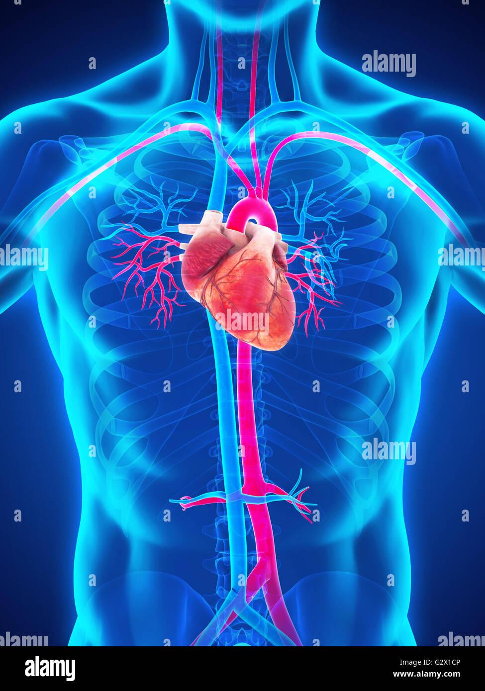 Wunderbar Anatomie Des Herzens Blutversorgung Ideen - Anatomie Von ...