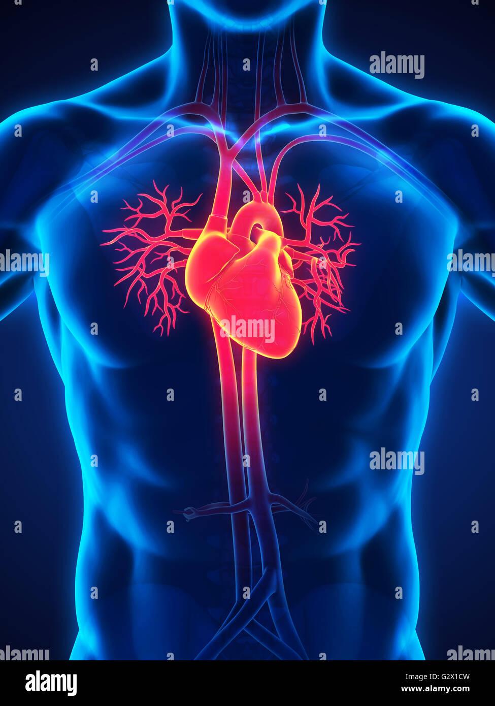 Male Cardiovascular System Stockfotos & Male Cardiovascular System ...