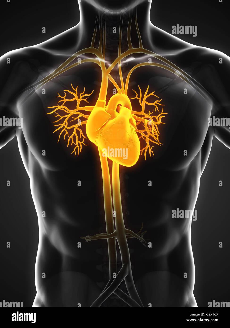 Atemberaubend Makroskopische Anatomie Des Menschlichen Herzens ...