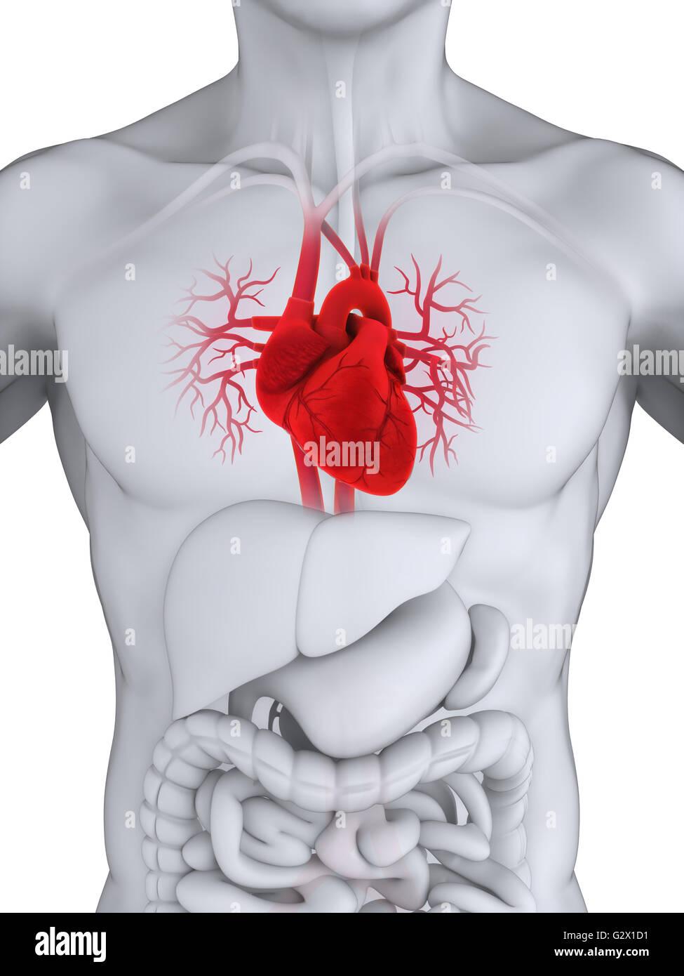 Ziemlich Anatomie Des Menschlichen Herzens Pdf Bilder - Menschliche ...