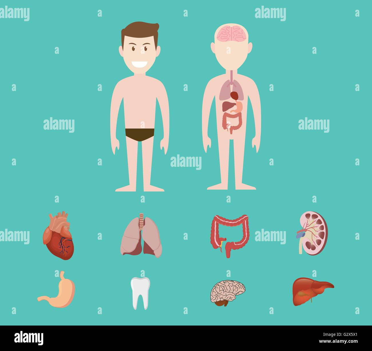 menschliche Anatomie Orgel Herz Lunge Niere Gehirn Zahn Magen Leber ...