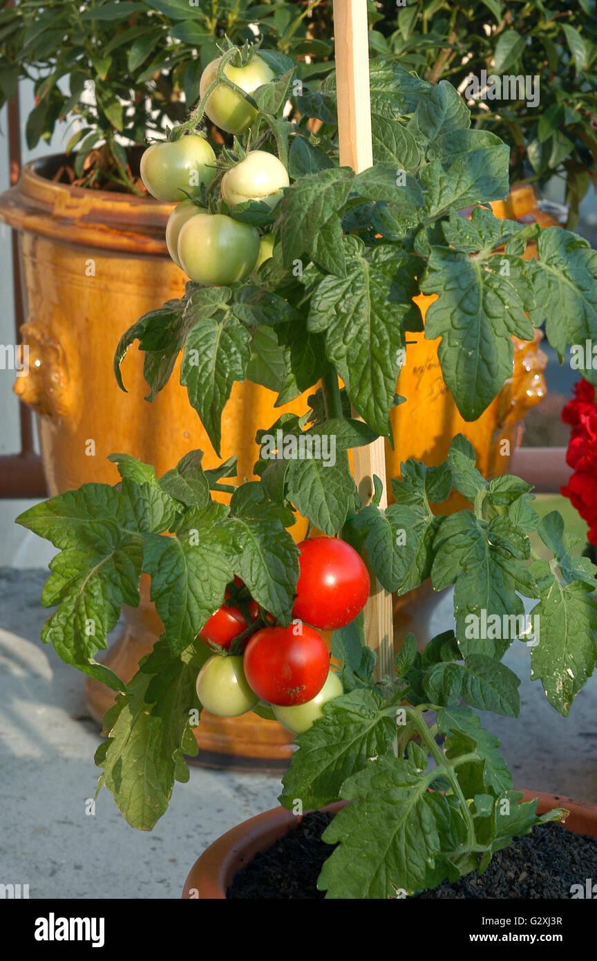 Tomatenpflanzen In Topfen Auf Dem Balkon In Der Stadt Stockfoto