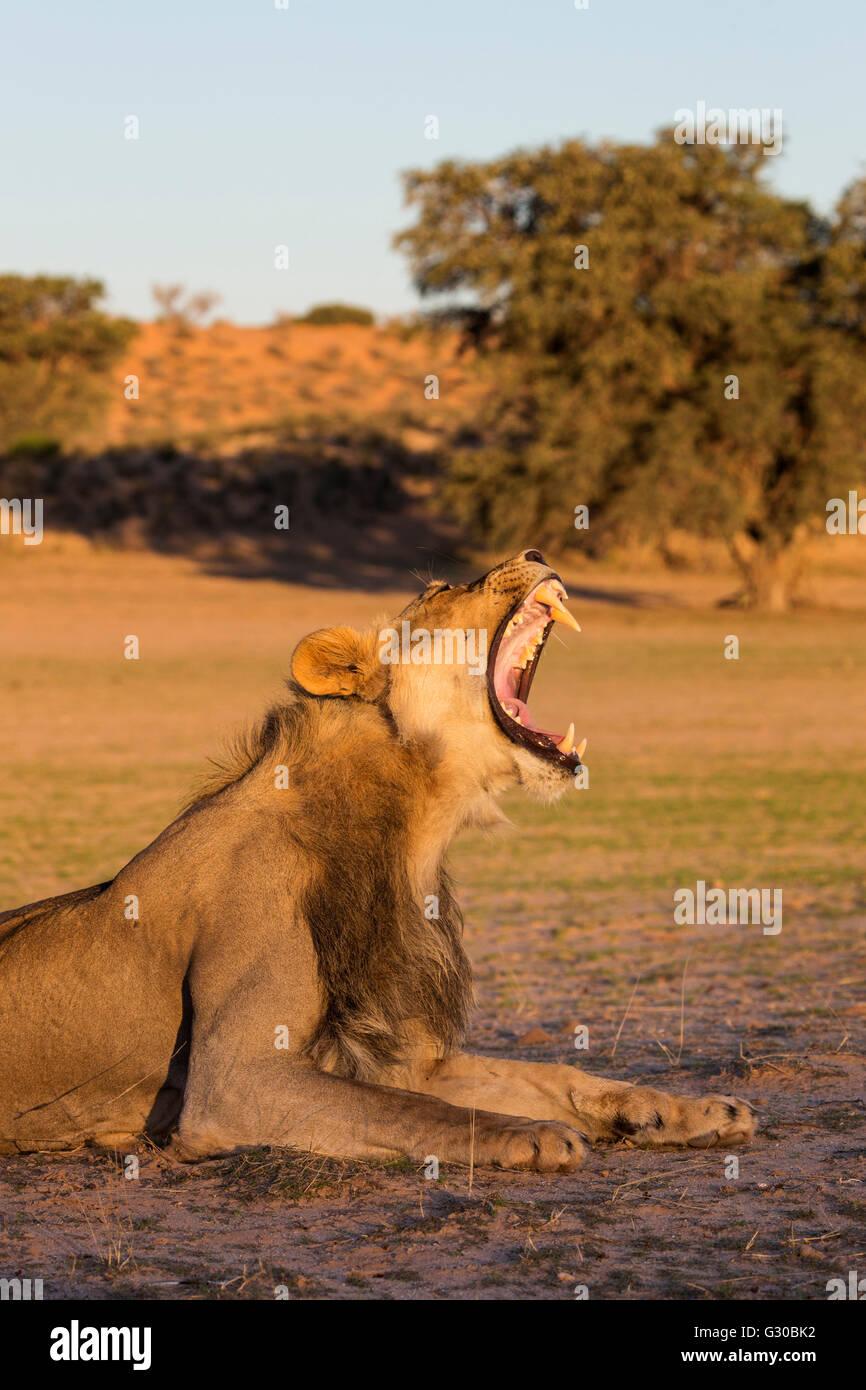 Männlicher Löwe (Panthera Leo), Gähnen, Kgalagadi Transfrontier Park, Northern Cape, Südafrika, Afrika Stockfoto