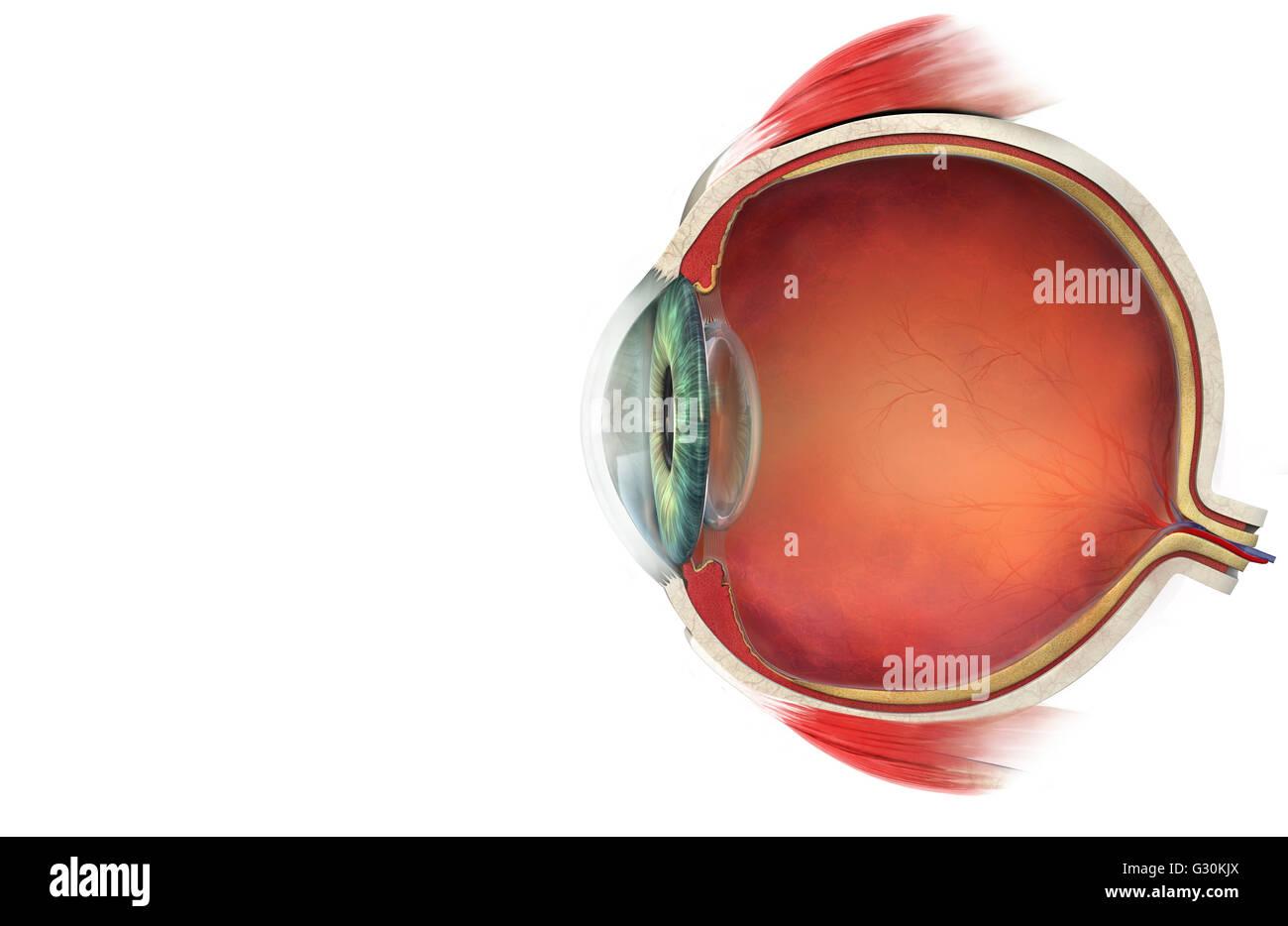 Querschnitt-Darstellung des menschlichen Auges Stockfoto, Bild ...