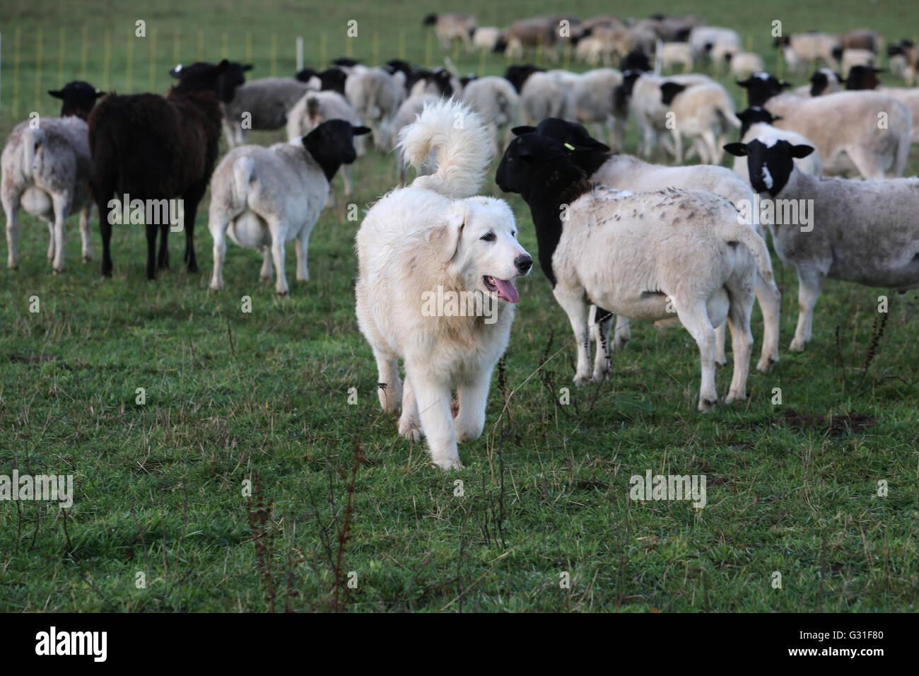 Herde  Neue K_twin, Deutschland, Pyrenaeenberghund bewacht eine Herde ...