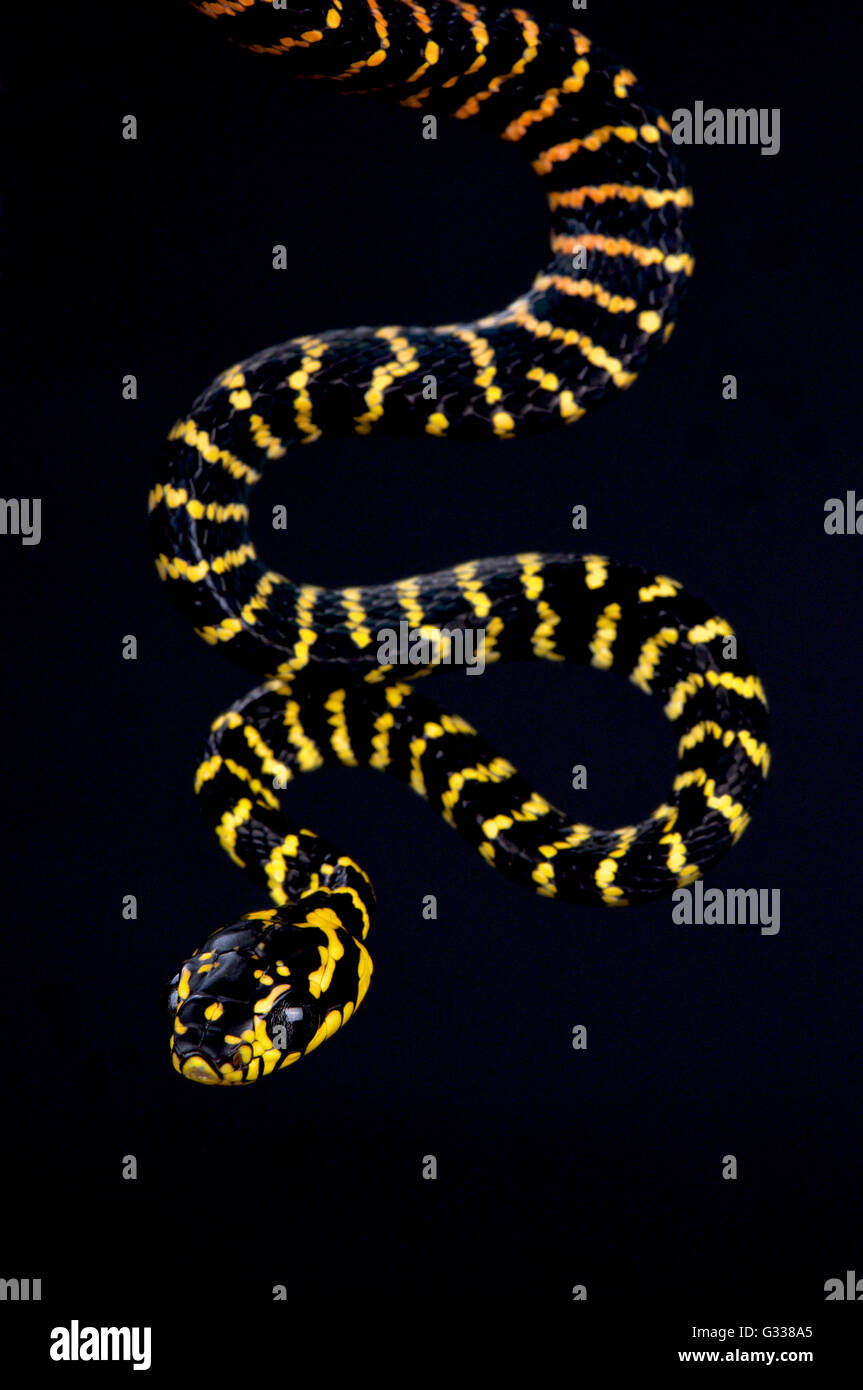 Sulawesi gold geringelten Schlange (Boiga Dendrophila Gemmicincta) Stockbild