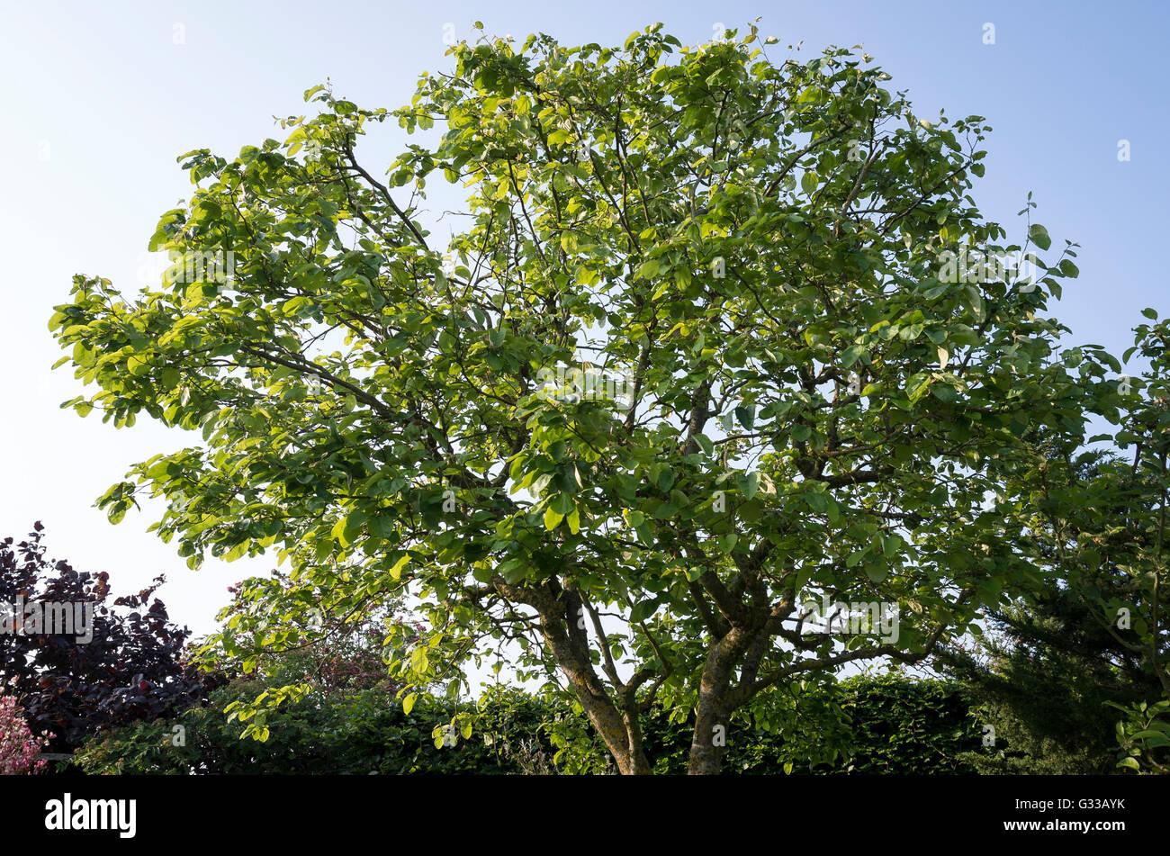 Eine Quitte Baum im Frühjahr zeigt anfänglichen Besserung von schweren Verlust von infizierten Laub der Stockbild