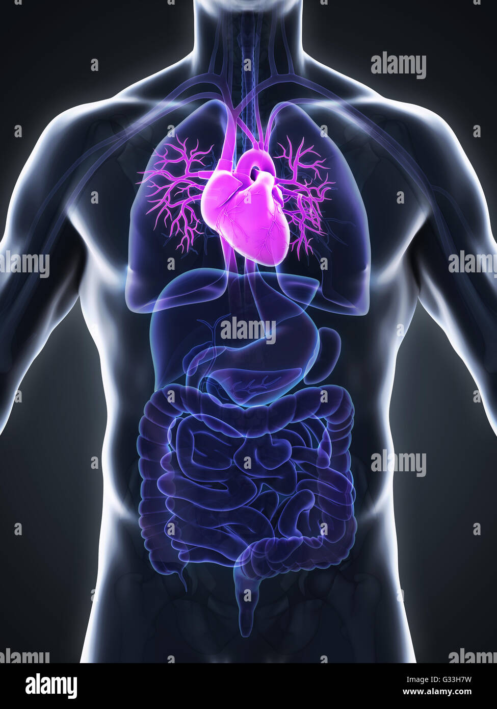 Ziemlich Anatomie Und Physiologie Des Herzens Pdf Fotos ...