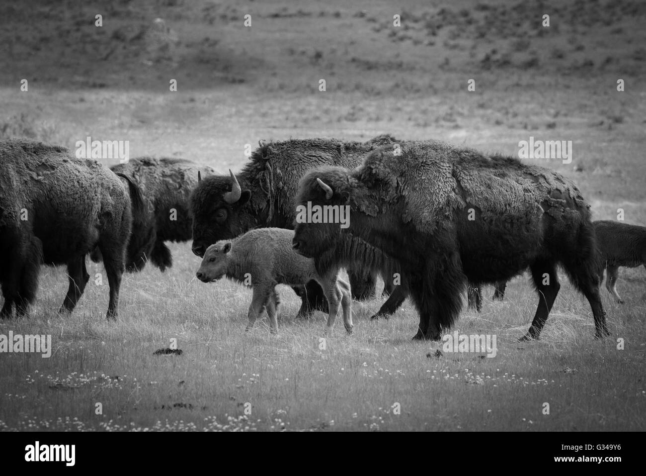 USA, Rockie Mountains in Wyoming, Yellowstone, Nationalparks, UNESCO-Welterbe, Bison Herde Stockbild
