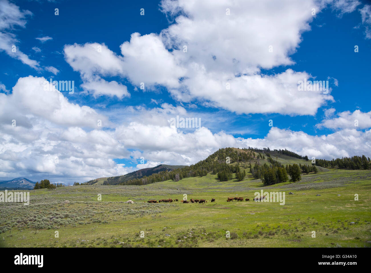 USA, Rockie Mountains in Wyoming, Yellowstone, Nationalpark, UNESCO, Welterbe, Bison Herde in Lamar Valley Stockbild