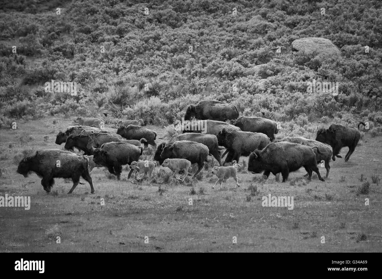 USA, Rockie Mountains in Wyoming, Yellowstone, Nationalpark, UNESCO, Welterbe, Bison Bison Bison, Herde, Säugetier, Stockbild