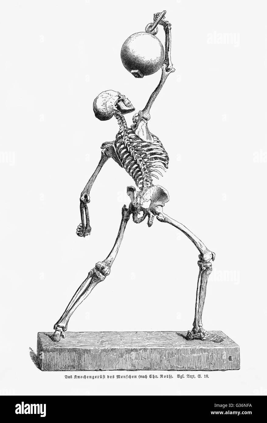 Ein menschliches Skelett in Bewegung, halten eines schweren Gegenstandes über seinem Kopf.            Datum: Stockbild