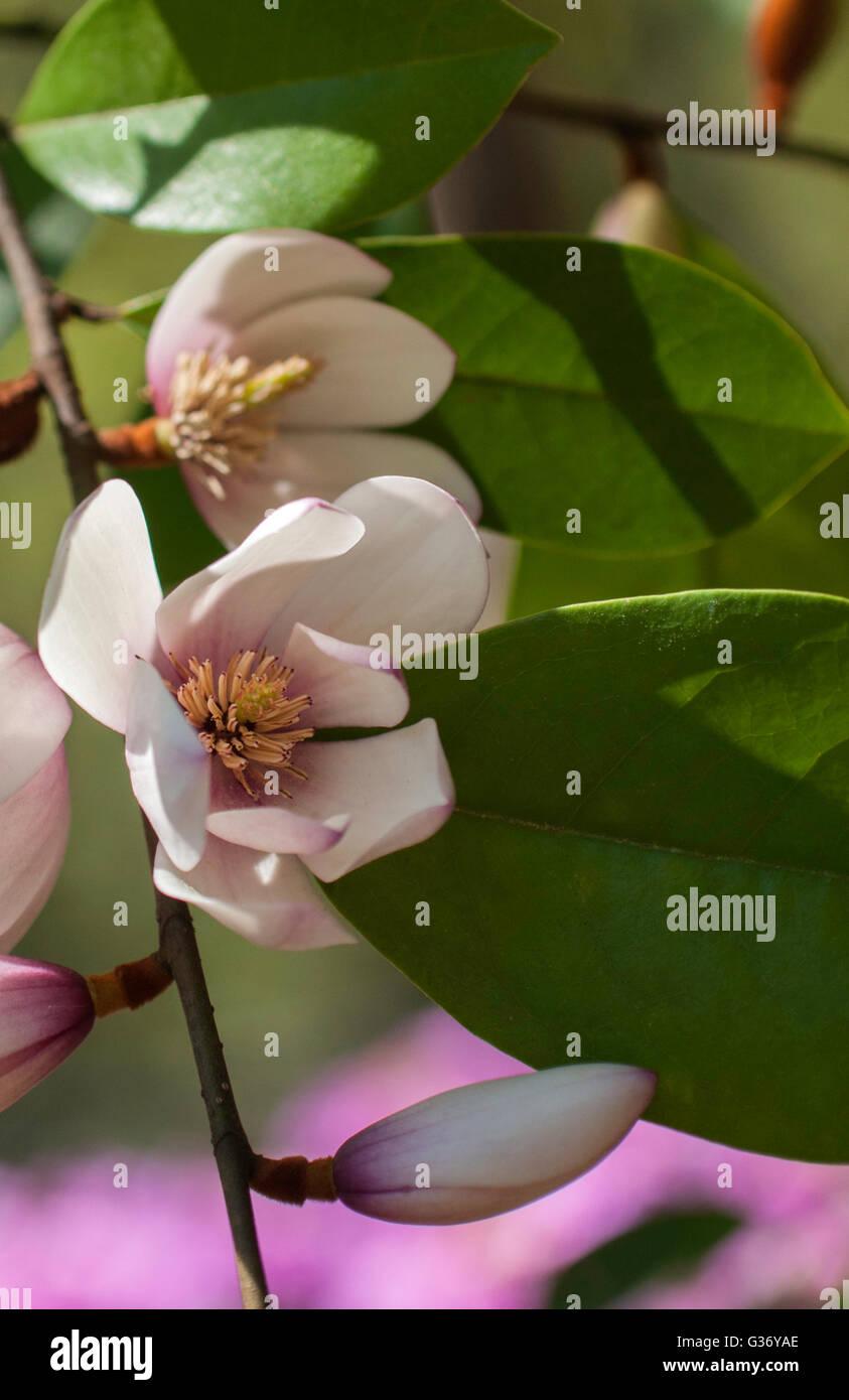 Michelia Fee BLUSH, Fairy Magnolie, immergrüne Michelia Hybrid, Stockbild