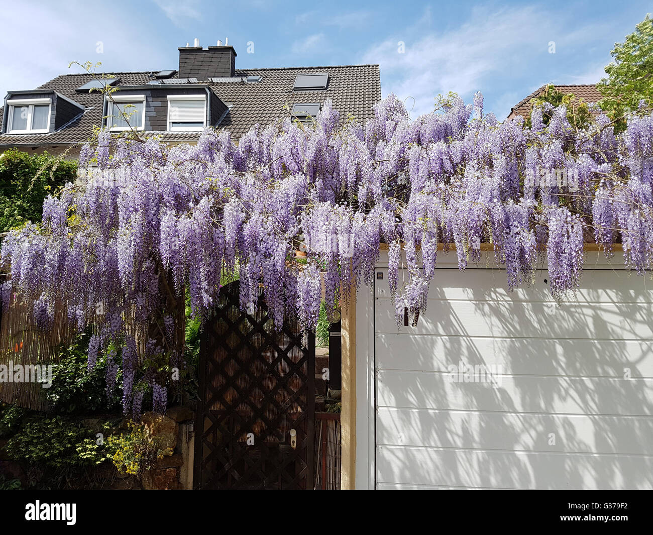 blauregen wisteria sinensis chinesische glyzine stockfoto bild 105267318 alamy. Black Bedroom Furniture Sets. Home Design Ideas