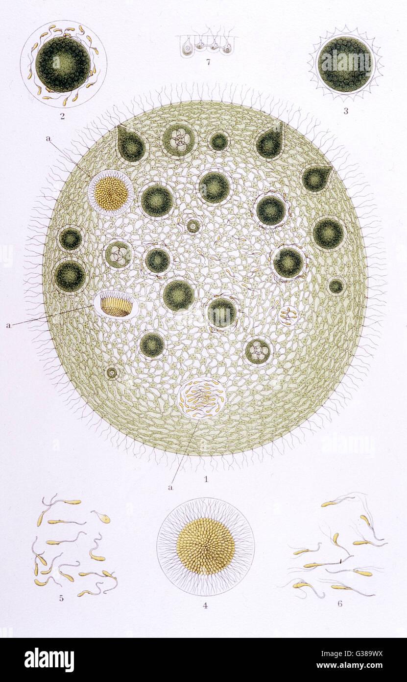 VOLVOX GLOBULATOR ein Süßwasser Organismus, dessen sphärische Form es ermöglicht, wenn es fühlt Stockbild